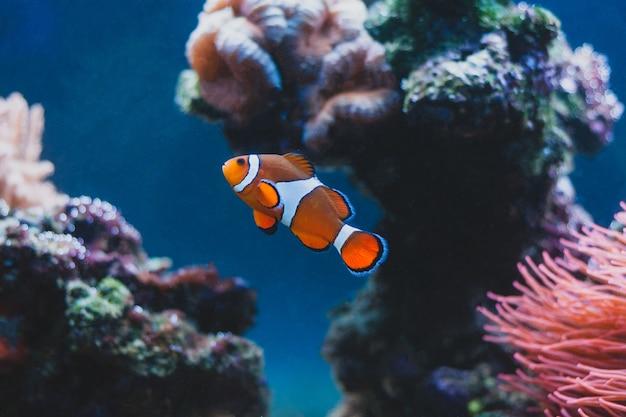 Clownvis en zeeanemoon en in aquarium. het leven in zee. Premium Foto