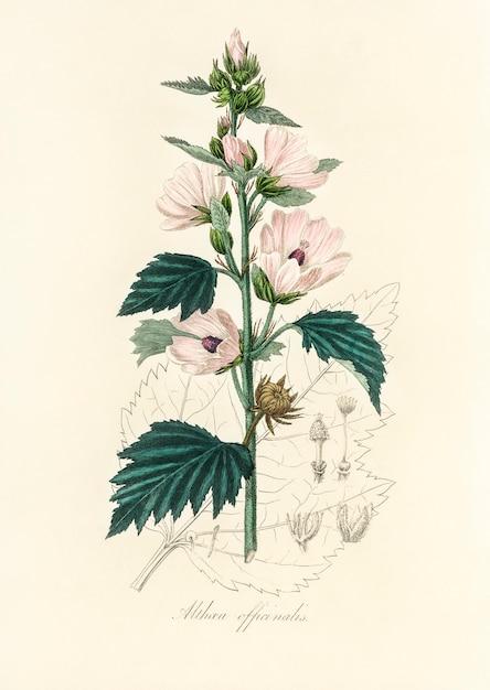 Common marshmallow (althea officinalis) illustratie uit medische plantkunde (1836) Gratis Foto
