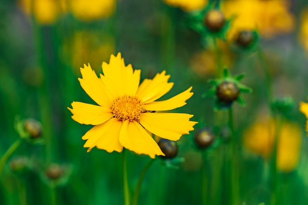 Coreopsis bloeit in een tuin op een zonnige dag Premium Foto