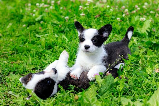 Corgi-puppy's spelen op het gras. Premium Foto