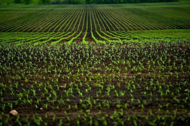 Corn fields Gratis Foto