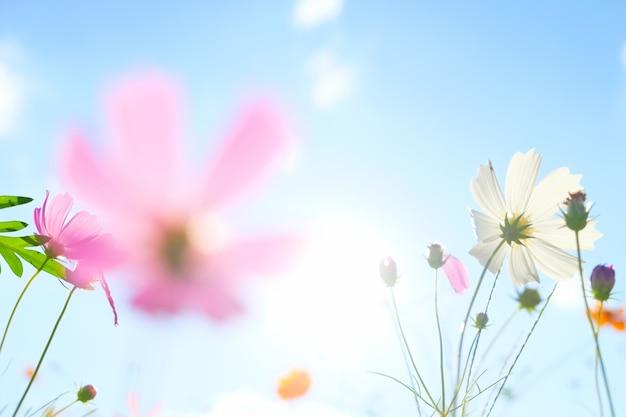 Cosmos bloemen op zonlicht Gratis Foto