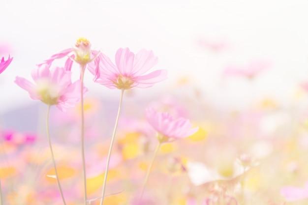 Cosmos schoonheid bloemen Gratis Foto