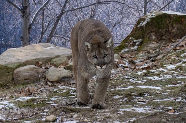 Cougar wandelen terwijl ze naar de camera kijken Gratis Foto