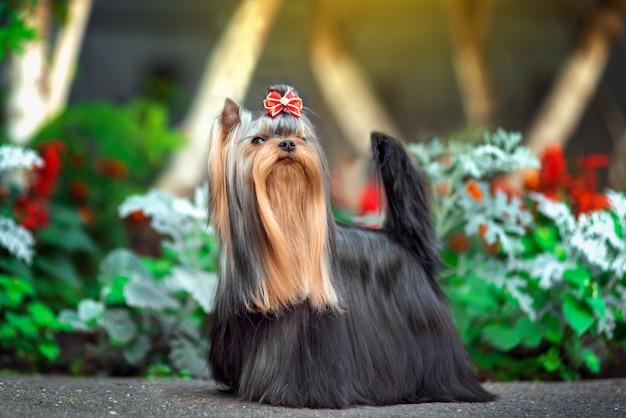 Cute yorkshire terrier hond spelen in de tuin Premium Foto