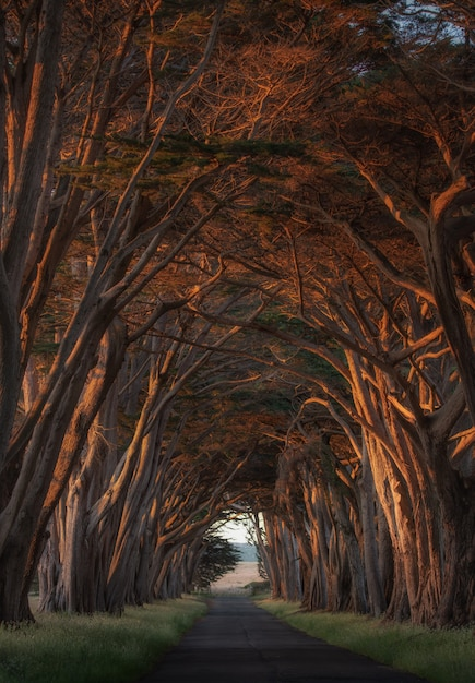 Cypress tree tunnel op point reyes Premium Foto