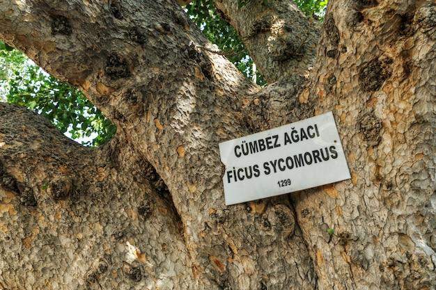 Cyprus, de kathedraal vijgenboom in famagusta. Premium Foto