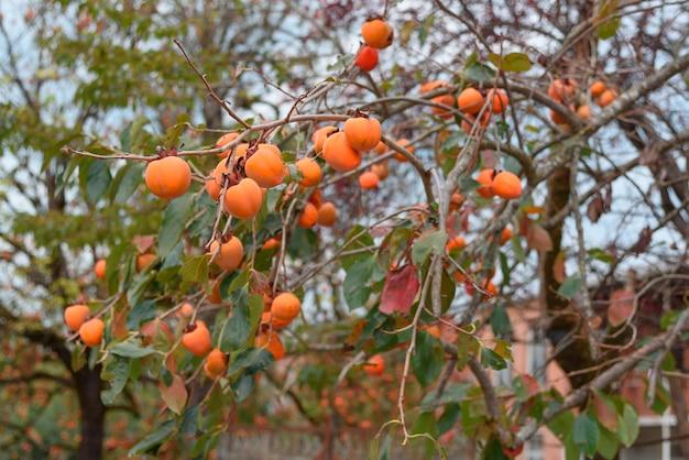Dadelpruimboom met vele dadelpruimen in de herfst. Premium Foto