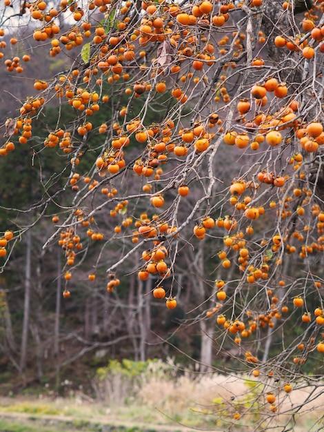 Dadelpruimfruit op boom in de herfst van japan. Premium Foto