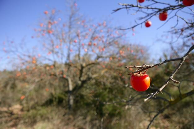 Dadelpruimfruitdetail in levendige sinaasappel Premium Foto