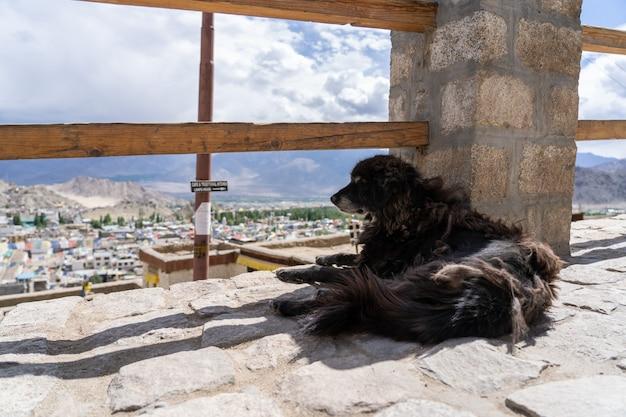 Dakloze hond in leh ladakh van het noorden van india Premium Foto