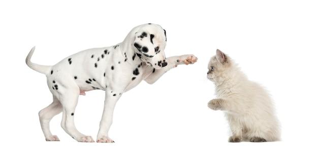 Dalmatisch high-fiving puppy en katje Premium Foto