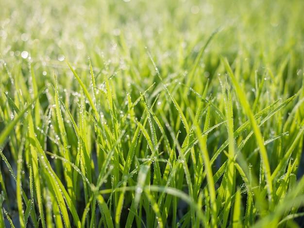 Dauw druppels op groen gras blad in de ochtend Premium Foto