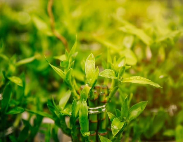 Dauw druppels op lucky bamboo plant Gratis Foto