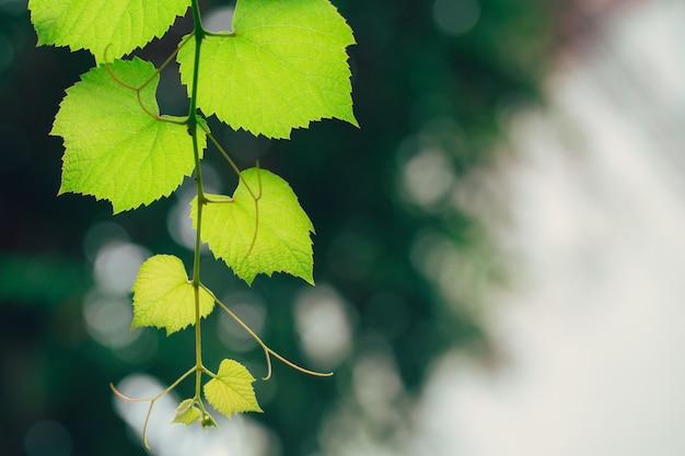 De aardecologie van de wijnstok groene tuin. groene het bladtextuur van het close-up hoge detail met chlorofyl en proces van fotosynthese in installatie. Premium Foto