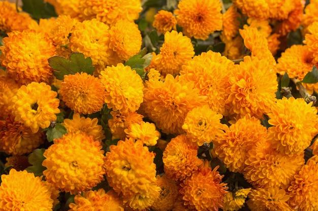 De achtergrond van oranje chrysanten sluit omhoog Premium Foto