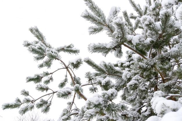 De altijdgroene boomtakken in de winter sluiten omhoog Premium Foto