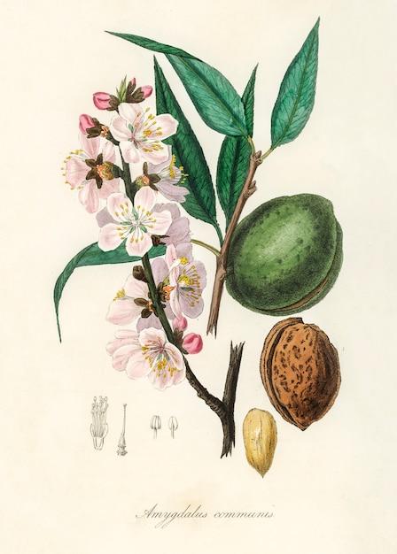 De amandel (amygdalus communis) illustratie van medical botany (1836) Gratis Foto