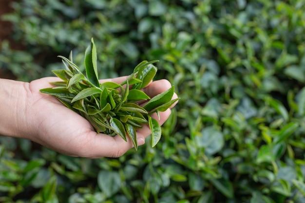 De aziatische handen van de theeplukker vrouw - sluit omhoog, mooi thee-plukt meisje in aanplanting. Gratis Foto