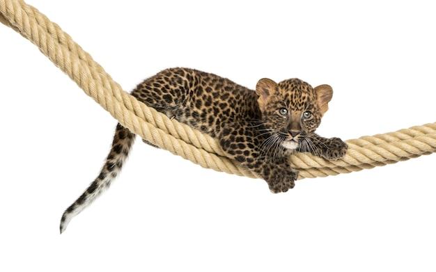 De bevlekte holding van de luipaardwelp op een geïsoleerde kabel Premium Foto