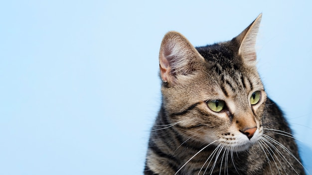 De binnenlandse kat die van de close-up weg kijkt Premium Foto
