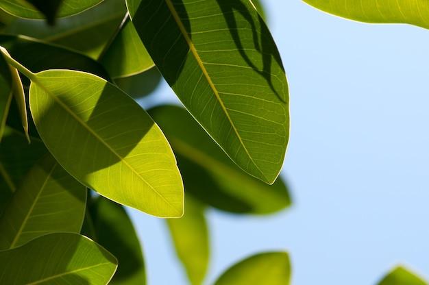De bladeren van de close-upmagnolia op blauwe hemel met ruimte voor tekst Premium Foto