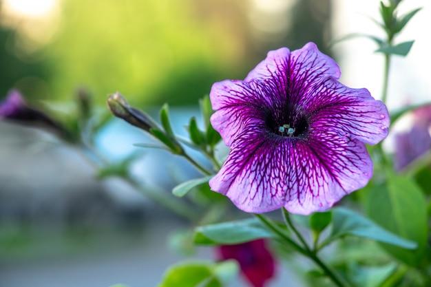 De bloeiende purpere petunia schoot dicht omhoog met vage achtergrond Premium Foto