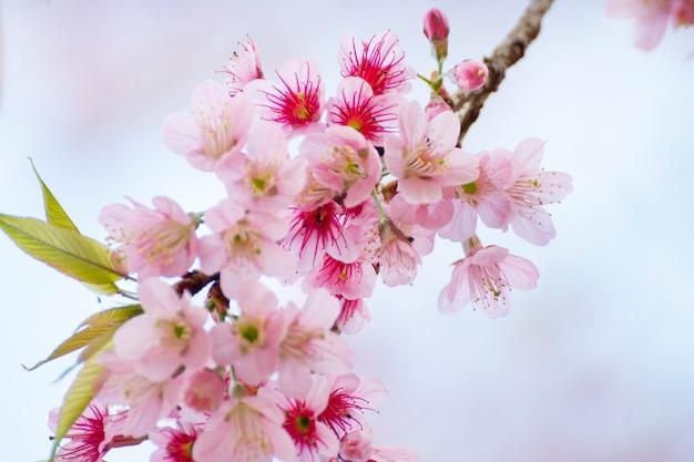 De bloemen van de kersenbloesem, de achtergrond van sakurabloemen Premium Foto