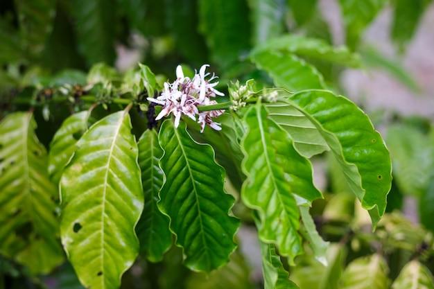 De bloesem van de koffieboom met kleurenbloem na regenachtig. robusta Premium Foto