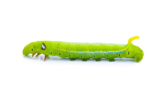 De dieren van groene wormruppillen isoleren op wit Premium Foto
