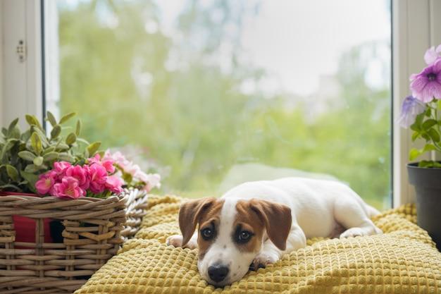 De droevige hond ligt op het venster en wacht op de eigenaar. Premium Foto