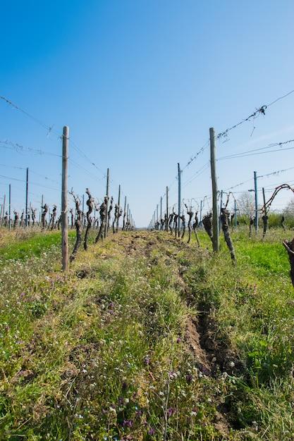De druivenbomen van de wijnstok met zonlandschap in de lentetijd. Premium Foto