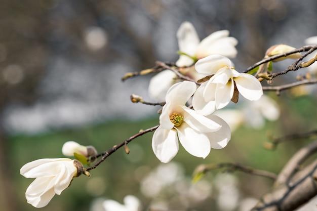 De eerste lente bloemen van magnolia op een boom in een stadspark Premium Foto