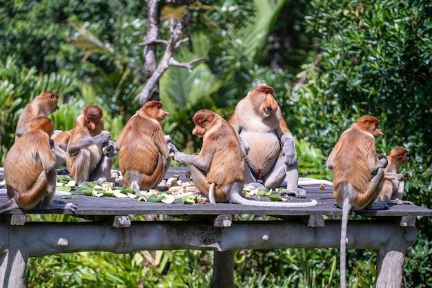 De familie van de wilde neusaap of nasalis larvatus, in het regenwoud van het eiland borneo, maleisië, sluit omhoog. geweldige aap met een grote neus. Premium Foto