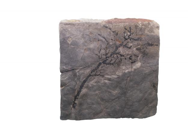 De fossiele ammoniet isoleert met het knippen van weg Premium Foto