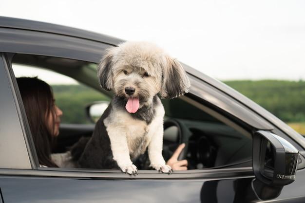 De gelukkige hond kijkt uit venster van zwarte auto, glimlachend met uit hangende tong en aandrijving Premium Foto