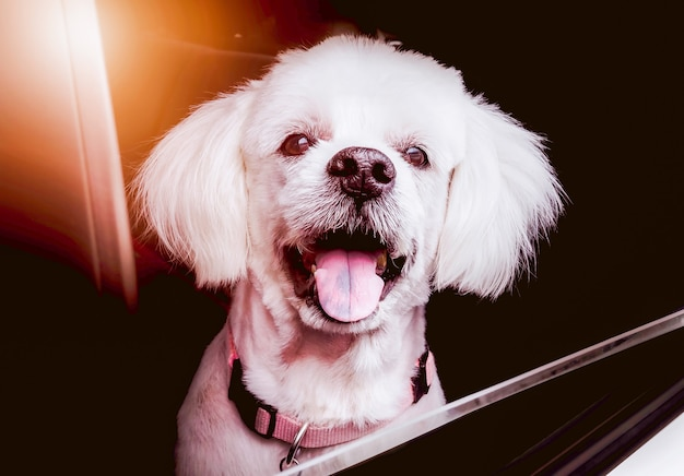 De glimlach van een oude hond die blij is tijdens het reizen Premium Foto