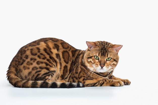 De gouden kat van bengalen op witte ruimte Gratis Foto