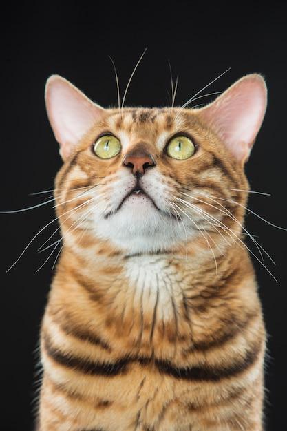De gouden kat van bengalen op zwarte achtergrond Gratis Foto