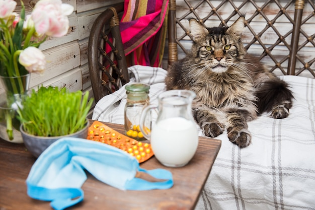 De grijze maine coon-kat ligt op het bed. diergezondheid. coronavirusziekte bij katten en dieren. ademhalingsbescherming. Premium Foto