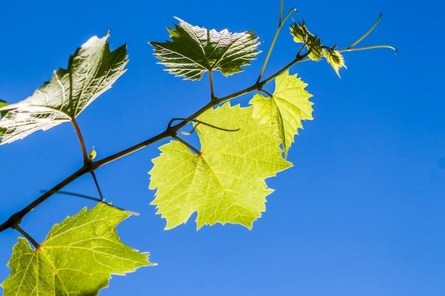 De groene bladeren van de wijnstokdruif in de zomer sluiten omhoog Premium Foto