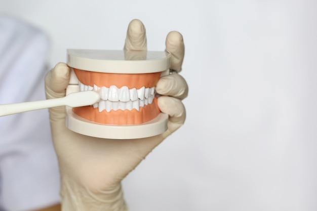 De handholding van de tandarts van kaakmodel van menselijke tanden en tandenborstel op wit Premium Foto
