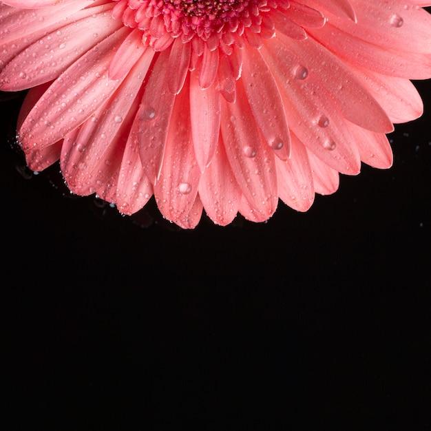 De helft van roze gerbera en zwarte achtergrond Gratis Foto