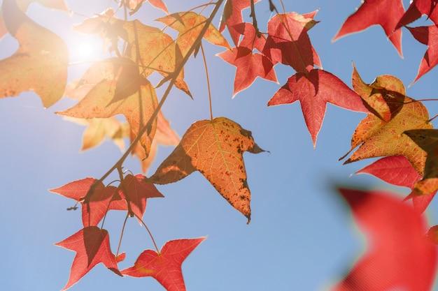 De herfstbladeren, zeer ondiepe nadruk, esdoornblad en blauwe hemel in azië Premium Foto