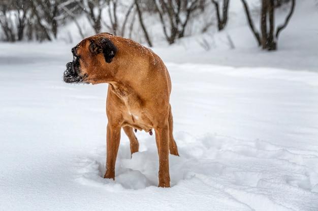 De hond speelt in het winterpark. met een handschoen in zijn tanden. Premium Foto