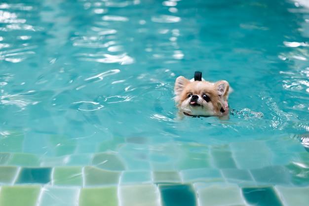 De hond van pomeranian draagt reddingsvest en zwemt in zwembad Premium Foto