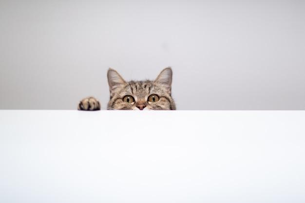 De huid van de kat huid en zoekt op witte achtergrond met copyspace Premium Foto
