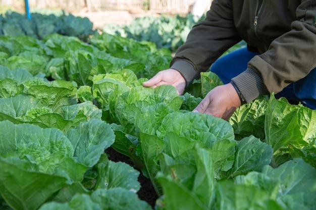 De irrigatiegebieden van de landbouwer van kool in moestuin Gratis Foto