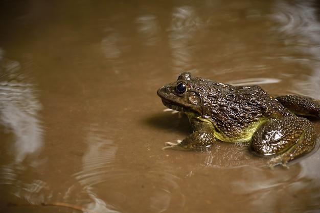 De kikker in water of vijver, sluit omhoog Premium Foto