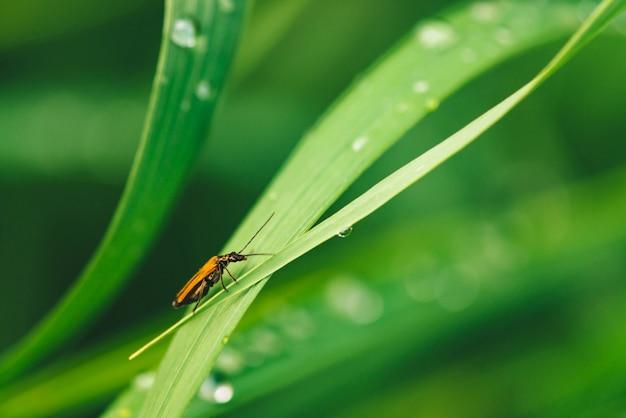 De kleine kever cerambycidae op levendig glanzend groen gras met dauw laat vallen close-up met exemplaarruimte. puur, aangenaam, mooi groen met regendruppels in zonlicht in macro. groene planten in regenweer. Premium Foto